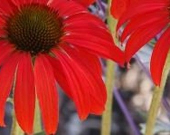 Rare Sprite Fire Red Echinacea 100 Seeds big petals with small heart coneflowers