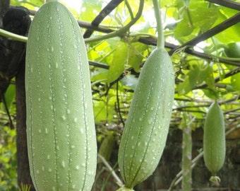Gourd Luffa Sponge Vegetable Seeds (Luffa Cylindrica) 15+Seeds