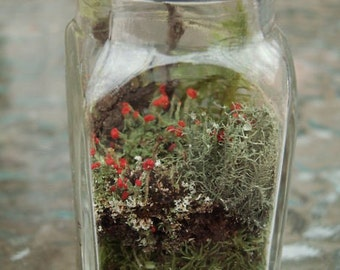DIY Mini Terrarium Shaker Kit Live British Soldier Lichen & Moss