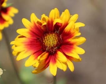Butter Yellow and Crimson Red Coneflower /Cone Flower Photograph   Bring Outdoors In