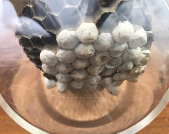 Wasp nest homeycomb in perfect condition in a jar
