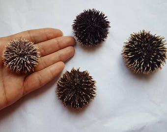4pcs dried with spines sea urchins a real sea treasure.