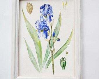 Original watercolor painting| Botanical illustration| Flower painting| Watercolor flower painting| Small painting| IRIS