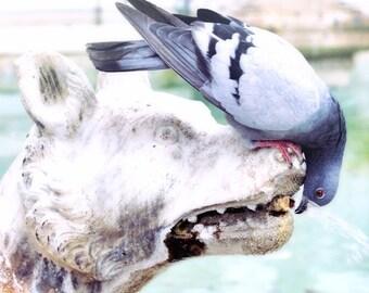 Siena Italy, fountain, marble fountain, pigeon, bird drinking, fine art photography, Italian art print, Siena fountain, large wall art