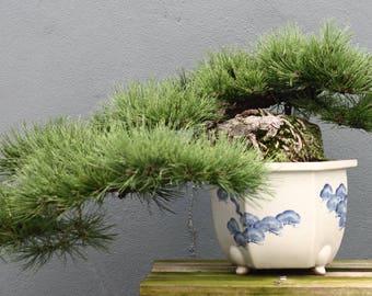 Bonsai - DWARF MUGO PINE  (Pinus Mugo Pumilio) 5 seeds
