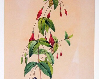 Redoute's Fuchsia Flower - 1979 Vintage Flowers Book Plate p224