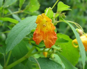 Jewelweed or Spotted Touch-Me-Not Seeds - Impatiens capensis - Native Wildflower