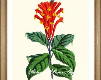 """Botanical Prints. Orange flower print.  Scutellaria. Scarlet Skullcap. 8x10"""" 11x14"""""""