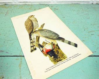 Antique Original Sharp-Shinned Hawk Book Plate from 1908 Yearbook of the Department of Agriculture, Hawk Print