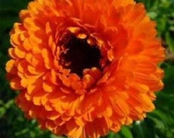 Neon Orange Calendula Flower Seeds / Re-Seeding Annual   40+