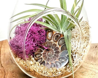 "DIY Ammonite Crystal Air Plant Terrarium Kit ~ Includes 6.75"" Clear Glass Hanging Terrarium, accessories, Tillandsia Plant Gift"