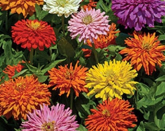 50+ Zinnia Cactus Double Mix / Annual Flower Seeds