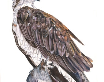 Osprey Watercolor painting Print of watercolor painting A3 print wall art print - bird art - art print - wildlife print