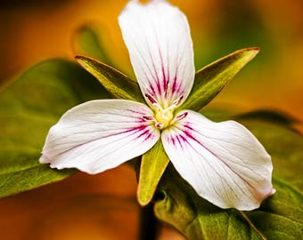White Trillium, Flower Print, Adirondack Mountains, Flower Photography, Home Decor, Fine Art Photography, Nature Photography, Art Print