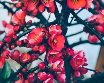 spring blossoms photos cherry blossom photo sakura flower