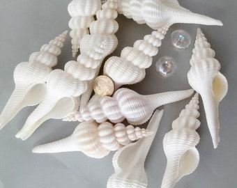 Beach Decor Spindle Shells, Nautical Decor White Spindle Seashells, Wedding Shells, White Shells, Specimen Collector Shells, 2 SIZES
