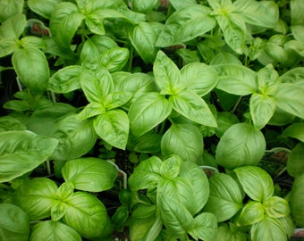 200 Organic NonGMO Italian Basil Seeds Own Production Health Benefit Plant Herb Season 2017