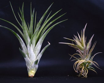 Live Air Plant  Set -  (2) x  Bromeliad Tillandsia  - Easy to Care  - Indoor  -  Free Shipping