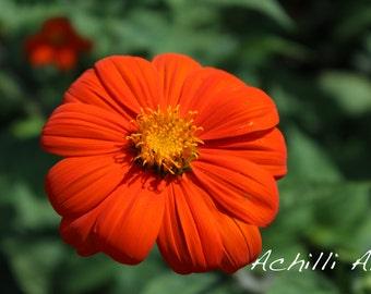 Orange Flower- Elizabeth Park- Original Photograph