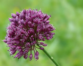 10 Seeds Allium jajlae , Allium rotundum Seeds,