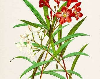Oleander Flower Art Print, Botanical Art Print, Flower Wall Art, Flower Print, Floral Print, Red White Flower Art Print, Home Decor