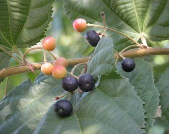 Grewia Asiatica / Phalsa - 15 seeds
