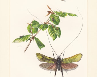 Vintage lithograph of green longhorn, fairy longhorn moths from 1956