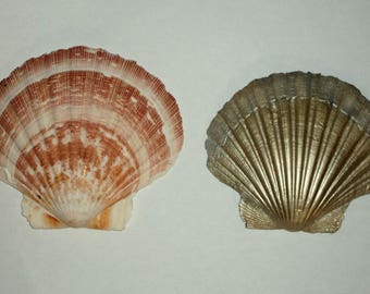 Lot 2 shells saint jacques ecru and pink and gold and silver shell