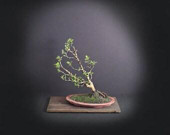 Japanese Boxwood Bonsai Tree, Japanese bonsai collection LiveBonsaiTree