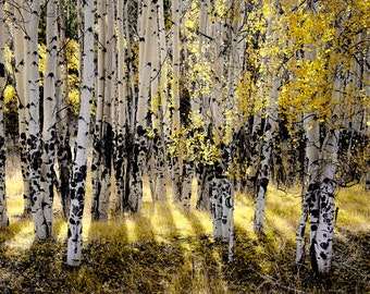 Aspen trees fall, fall tree photo, aspen tree decor, Colorado art, rustic wall decor, log cabin art, fall photo | Shining Aspen Forest
