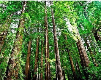 California Redwood 10 Seeds Sequoia sempervirens One of Largest Living Things Bonsai or Standard Gardening Conifer All Zones
