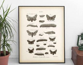 Entomology, Moth print, Antique entomology art print, Moth illustration, Instant download, Vintage wall art, Printable, 8x10 print, 11x14