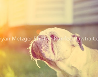 Sunlight English Bulldog Print, Fine Art Photography Print, Purrfect Pawtrait Pet Photography, Animal Photography