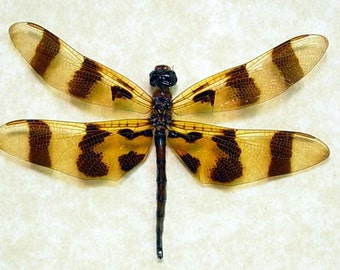 Celithemis Eponina Halloween Pennant Dragonfly Real Framed Insect 2387