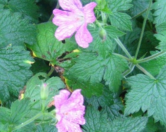Live Hardy Geranium aka G. sanguineum, Ground Cover, Deer Resistant, Rock Garden, Cold Hardy Perennial