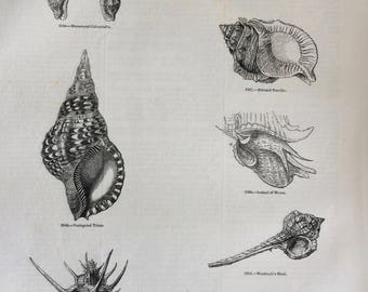 1856 Large Original Antique Sea Shell Engraving - Shellfish - Conchology - Marine Wildlife - Wall Decor - Home Decor - Marine Decor