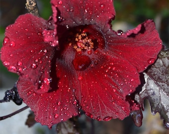 Hibiscus Acetosella, Mahogany Splendor Hibiscus Seeds. 10 fresh seeds. Free shipping in USA!