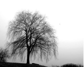 Willow in Fog, scenery, black and white photograph, Scarborough Bluffs, Toronto, Canada, Bluffers Park, gift 20, wall art, home office decor