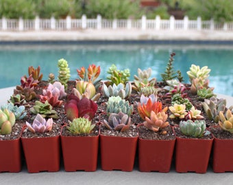 9 Colorful Succulents in 2 inch pots, Succulent, Succulents, Succulent Plants, Hens and Chicks, Terrarium Plants, Fairy Garden Plants