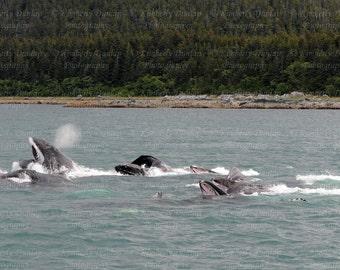 Fine Art Humpback Whale Photograph {Marine Mammal Photo, Alaska Print, Wildlife Photography, Pacific Northwest Picture, Large Wall Decor}