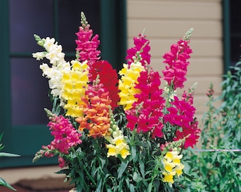 100 Dragon Flower (Antirrhinum Snapdragon) Seeds Exotic Flower Garden Outdoor Flowers Seeds Mix Colors