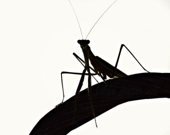 Praying Mantis Silhouette 8x10 Fine Art Photograph - Black and White, Insect
