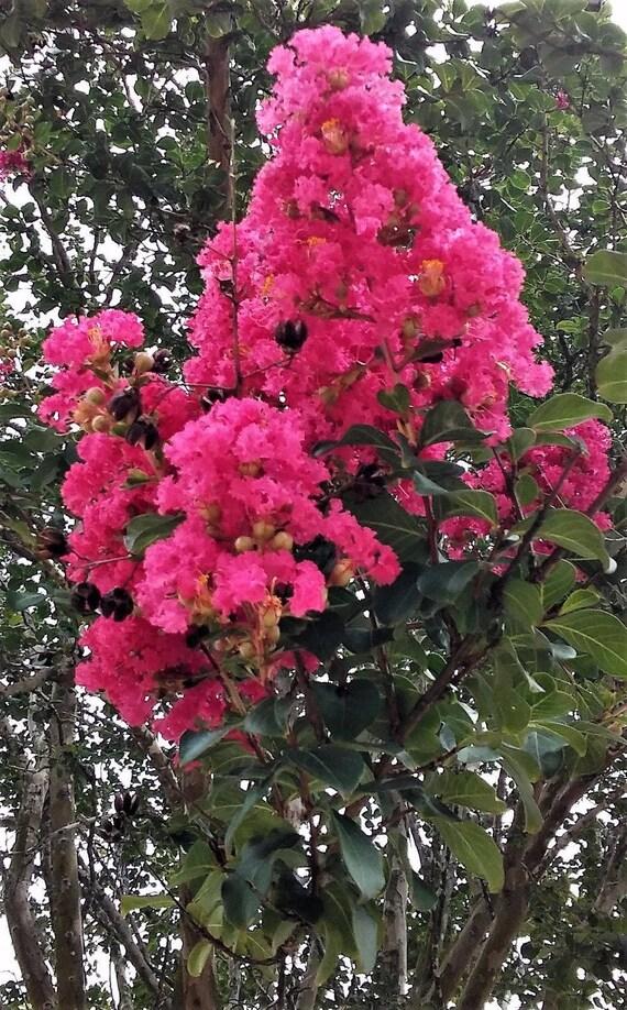 2 crepe myrtle trees dark pink flowers clusters fragrant large mightylinksfo