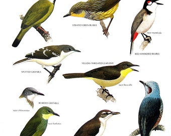Vintage Bird Print - Crested Finchbill, Spotted Greenbul, Long Billed Bulbul, Yellow Throated Leaflove - 1990 Vintage Book Page - 11 x 9