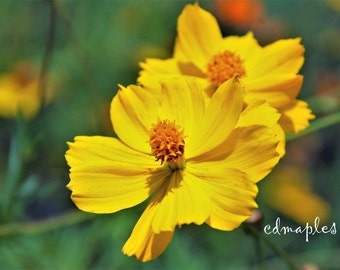 Coreopsis flowers photograph, Coreopsis Flowers, Yellow Flower Photo, Garden Flower