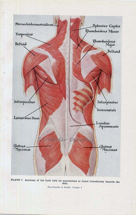 Muscles back posterior human anatomy vintage medical chart muscles back posterior human anatomy vintage medical chart 1930s lithograph to frame ccuart Image collections
