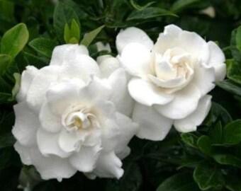 Crown Jewel Dwarf Gardenia  - Live Plant - Quart Pot