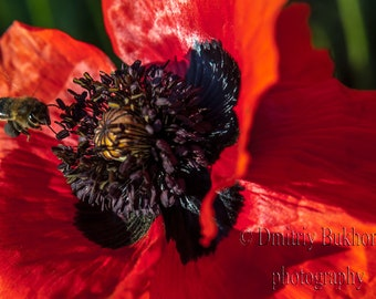 Nature Photography, Poppy Flower Photo, Nature Wall Art, Nature Photo, Flowers Photography, Canvas Prints