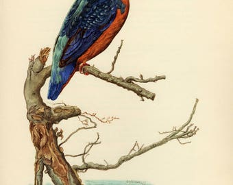 Vintage lithograph of the common kingfisher, Eurasian kingfisher or river kingfisher from 1953
