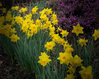 A Gathering of Daffodils - Fine Art Print - Floral Photography - Flower Print - Flower Photography - Spring - Yellow - Home Decor - Wall Art